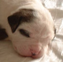 Sugar and Rocky's American Bulldog Puppies. We call this one Number One Girl.