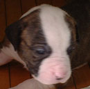 Sugar and Rocky's American Bulldog Puppies. This one we call Peanut and she's the smallest but also the quickest and fiestiest.