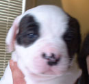 Sugar and Rocky's American Bulldog Puppies. The first one out we call Boy One. A big, strong and gentle lad.