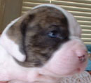 Sugar and Rocky's American Bulldog Puppies. Introducing Boy Three.
