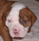 Sugar and Rocky's American Bulldog Puppies. The balance of nature shown in Brown Girl with opposite face coloring from her brother.